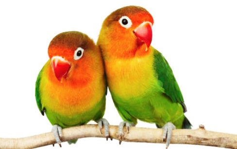 Analisa Untung Rugi Ternak Budidaya Burung Love Bird dan Estimasi Biaya Modal Usahanya Di Rumah